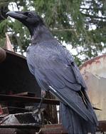 Kawbird_2