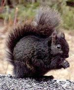 Blacksquirrel2
