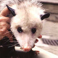 Possumface